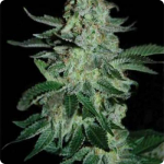 Pyramid Seeds presents Tutankhamon Auto cannabis strain search for more on Cannapedia.cz