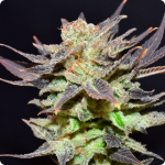 Cannapedia.cz: Auto Lavender by CBD Seeds seedbank and more marijuana strains in database