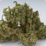 Jack Herer - legend of the stoned world - now by Green House Seeds on Cannapedia.cz