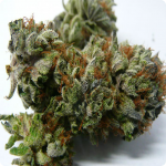 Dinafem, Cheese, Cannapedia.cz, marijuana strains from all over world!