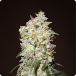 Strong buds of Afghan Kush by White Label on Cannapedia