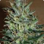 Cannapedia.cz: Amnesia Mistery by Positronic Seeds