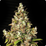 Monster marijuana strain by Eva Seeds on Cannapedia.cz