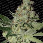 Acid marijuana strain by Dutch seedbank Paradise Seeds on Cannapedia