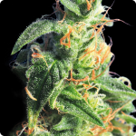 Gorgeous cannabis bud of BCN Diesel strain by Kannabia seedbank on Cannapedia.cz