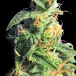 Gorgeous cannabis bud of BCN Diesel strain by Kannabia seedbank on Cannapedia.cz