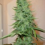Cannapedia: Big Bud marihuana