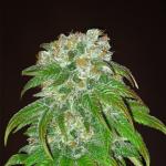 Cannapedia: Sensi Seeds Big Bud hemp