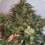 Cult weed strain Jack Herer on Cannapedia