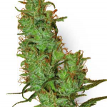 Cannapedia.cz: odrůda marihuany Jack Herer od Sensi Seeds