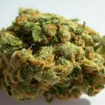 Legendary marijuana strain Jack Herer by Sensi Seeds on Cannapedia.cz