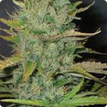 Marijuana seeds Afghani by Homegrown Fantaseeds see more on Cannapedia.cz