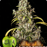 Monster - weed - cannabis - marijuana seeds - marijuana - Eva Seeds - all on Cannapedia.cz!