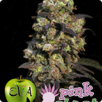 Pink Plant by Eva Seeds is Pink! Cannapedia.cz