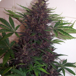 Check loads of cannabis strains on Cannapedia.cz, this beautyfull bud is Purple Kush by Buddha Seeds