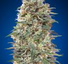 California Kush by 00 Seeds