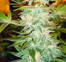 Cannapedia: odrůda konopí OG Kush seedbanky Dinafem