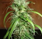 Velmi oblíbená konopná odrůda Haze od Homegrown Fantaseeds na Cannapedia.cz / Cannapedia.cz presents popular marijuana strain Haze by Homegrown Fantaseeds