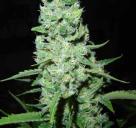 Cannapedia: semena marihuany AK-47 od seedbanky Serious Seeds
