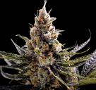 Cannapedia: semena marihuany 24K Gold od DNA Genetics / Marihuana seeds 24K Gold by DNA Genetics