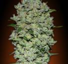 Auto Bio Diesel Mass by Advanced Seeds