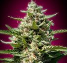 White Kush by Advanced Seeds