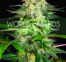 Cannapedia.cz konopná encyklopedie: Afghan Kush Ryder od World of Seeds
