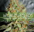 Afghani Kush Special od World of Seeds na Cannapedia.cz