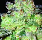 Cannapedia.cz: Konopná odrůda Afghan Kush x White Widow od World of Seeds