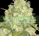Cannapedia: Afghan Kush x Yumbolt konopná odrůda od World of Seeds