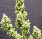 Cannapedia: odrůda Afghanica od Flying Dutchman