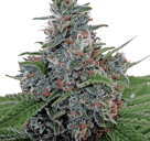 Cannapedia.cz: Auto Blue Amnesia od Ministry of Cannabis