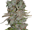 Cannapedia.cz: Auto Blueberry Domina od Ministry of Cannabis