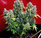 Joint Doctor Direct je seedbanka, která představuje odrůdu Chronic Ryder! Dalších více než 900 odrůd můžete najít na Cannapedia.cz