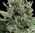 Cannapedia: Autopilot XXL od Ministry of Cannabis
