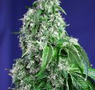 Big Devil F1 Fast Version od Sweet Seeds na Cannapedia.cz / Big Devil F1 Fast Version by Sweet Seeds on Cannapedia.cz