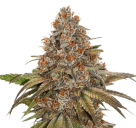 Blackberry Gum by Seed Stockers