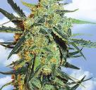 Cannapedia.cz: Blueberry Sknuk od Flying Dutchman seedbanky