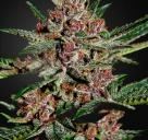 Bubba Kush by Green House Seeds