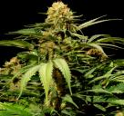 Cannapedia strain database: Bullshark by Bulldog Seeds seedbank