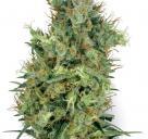 Cannapedia: krásná odrůda konopí Cali Orange Bud od White Label seedbanky
