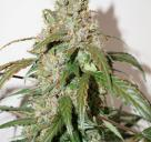 CBD Auto White Widow® by Dutch Passion