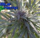 Dark Kush od Blue hemp / Cannapedia.cz konopná encyklopedia / Cannapedia.cz strain encyklopedia / Dark Kush marijuana by Blue Hemp seedbank