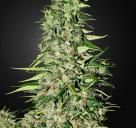 Diamond Girld by Green House Seeds