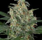 Cheese Autoflowering by Dinafem Seeds