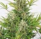 Critical Cheese Autoflowering by Dinafem Seeds