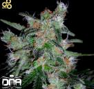 Cannapedia: Konopná odrůda 60 day lemon od seedbanky DNA Genetics
