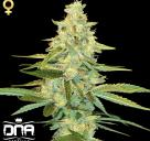 Cannapedia.cz: Konopná odrůda Cannalope Kush od DNA Genetics / Cannalope Kush marijuana strain by DNA Genetics