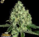 91 Krypt je konopná odrůda od DNA Genetics / Cannapedia.cz je největší databáze konopných semen / 91 Krypt strain by DNA Genetics