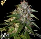 Cannapedia.cz: Sour Cream konopná odrůda od DNA Genetics / Sour cream marijuana strain by DNA Genetics